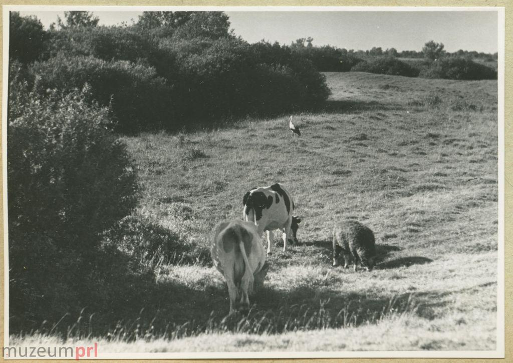 wizerunek  Zwierzęta gospodarskie